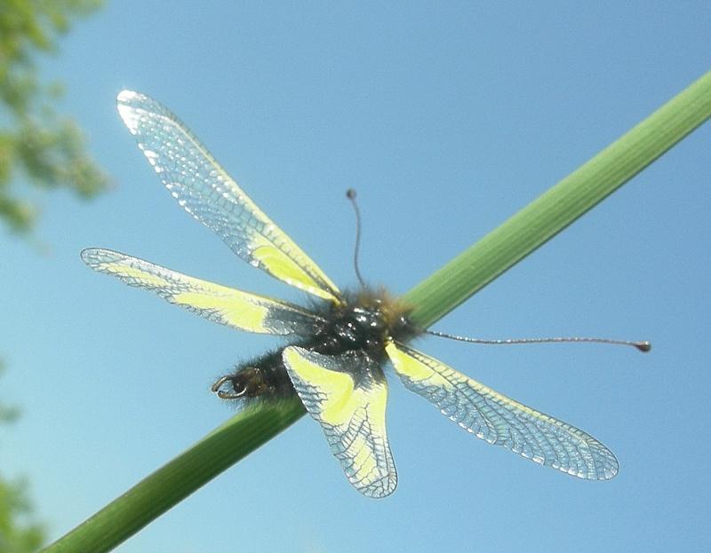 [Divers insectes] Echantillon Dscn6216