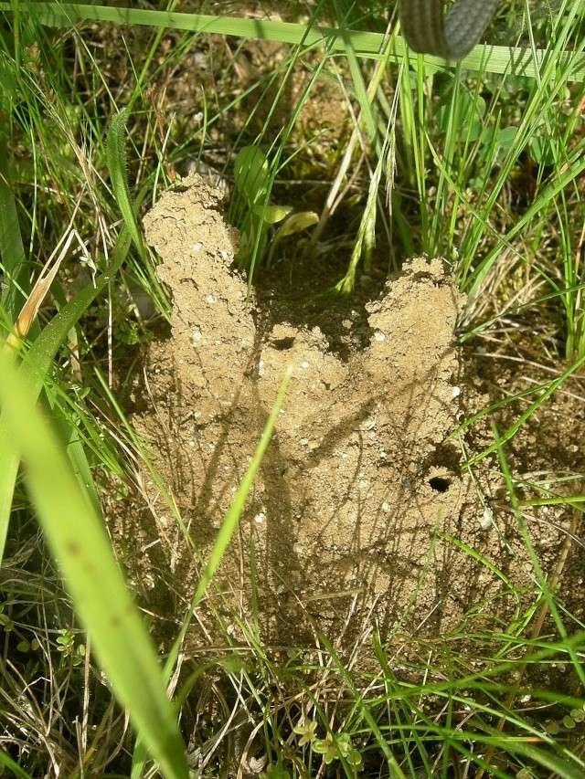 Nids de fourmis ou de guêpes maçonnes ? Dscn7011
