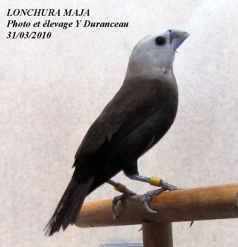 Photo d'un mâle. Lonchu12