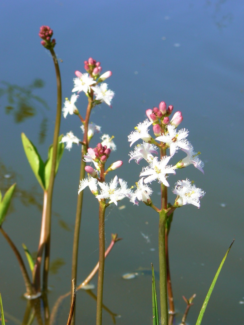 Menyanthes trifoliata ou trèfle d'eau 28_04_22