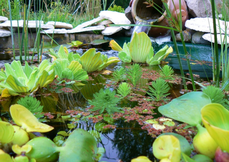 Myriophyllum aquaticum ou myriophylle Bassin11
