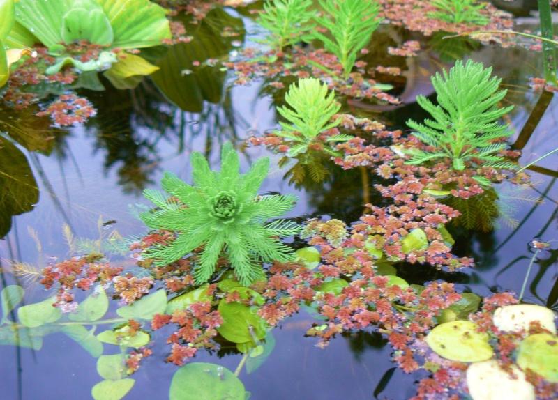 Myriophyllum aquaticum ou myriophylle Copie_12