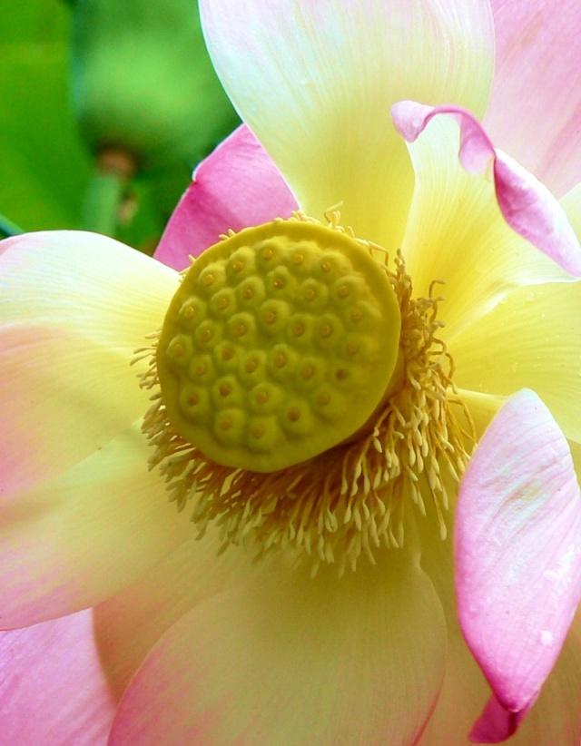 Nelumbo sp. ou lotus Image185