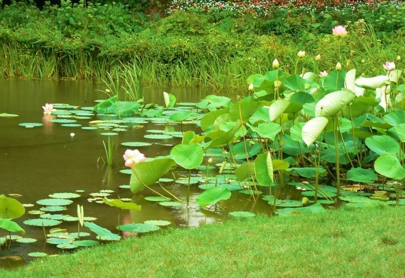 Nelumbo sp. ou lotus Image186
