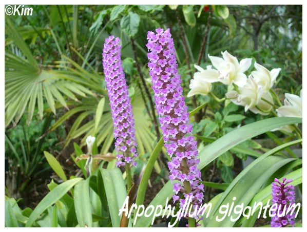 Orchidées en fleurs au JB de Meise en Belgique! Arpoph10