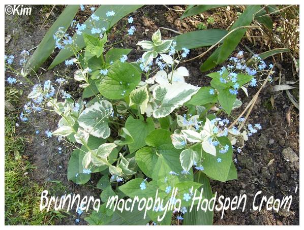 Brunnera macrophylla 'Hadspen Cream' Brunne10