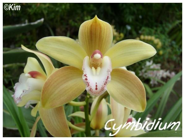 Orchidées en fleurs au JB de Meise en Belgique! Cymbid10