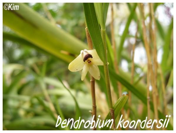 Orchidées en fleurs au JB de Meise en Belgique! Dendro11