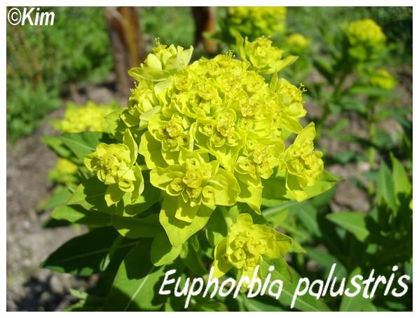 Euphorbia palustris, spectaculaire pour les zones humides Euphor10