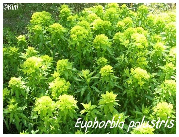 Euphorbia palustris, spectaculaire pour les zones humides Euphor11
