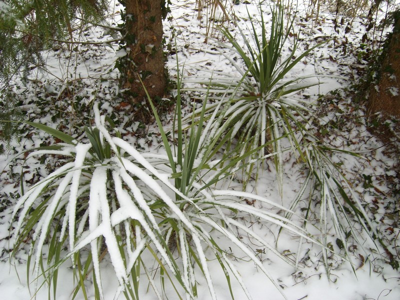 Zone 6 (-20°C) pour mon jardin cet hiver! Neige211