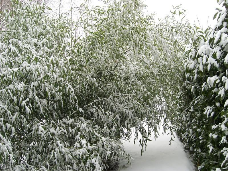 Zone 6 (-20°C) pour mon jardin cet hiver! Neige310