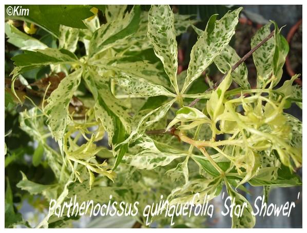 Parthenocissus quinquefolia 'Star Shower' Parthe10