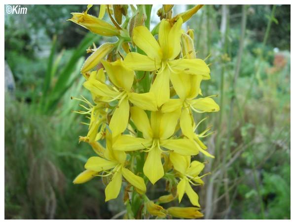 Quiz en épi - Wachendorfia thyrsiflora Quiz_e10