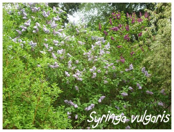 Syringa vulgaris ou Lilas Syring10