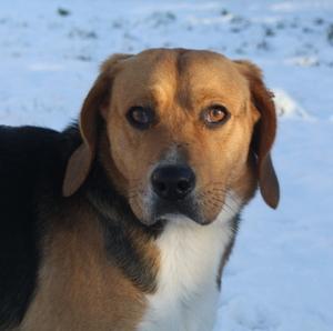 KIM, beagle mâle, 6 ans - SPA de Chamarande (91) Anm_ph10