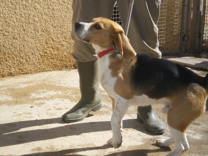 NESTOR, beagle mâle, 9 mois (34) Beagle10