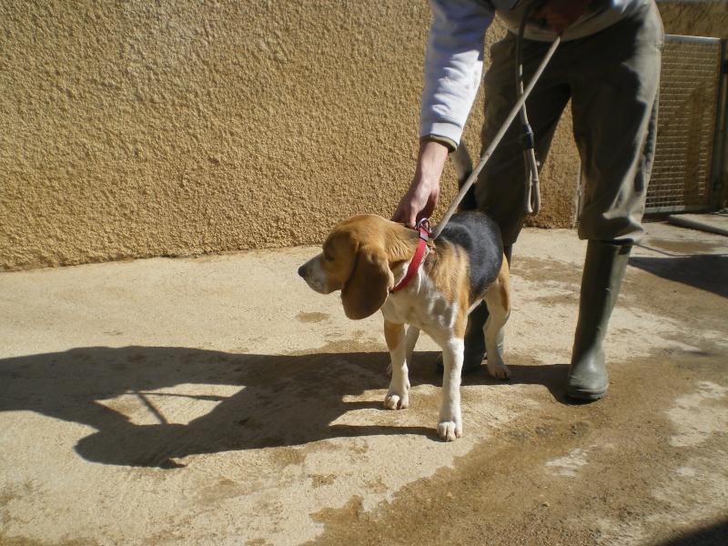 NESTOR, beagle mâle, 9 mois (34) Beagle11
