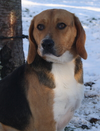 KIM, beagle mâle, 6 ans - SPA de Chamarande (91) Imf_co10