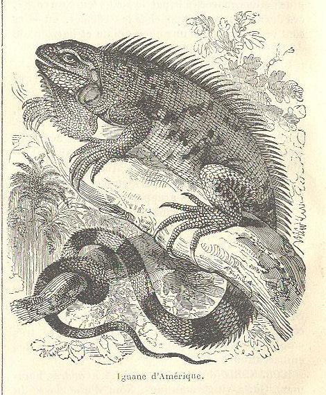 VIEUX BOUQUINS Iguane10