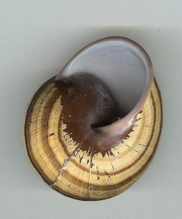 Escargot des philippines à déterminer Photo_28