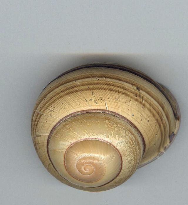 Escargot des philippines à déterminer Photo_29