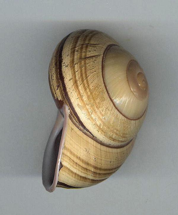 Escargot des philippines à déterminer Photo_31