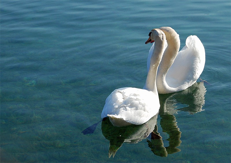 Cygnes amoureux Swan_f10