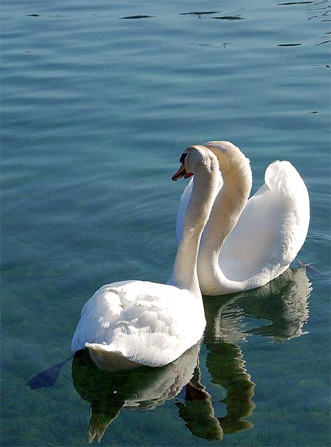 Cygnes amoureux Swan_f11