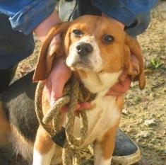 DOGMA, beagle femelle, 3 ans (72) Dogma_13