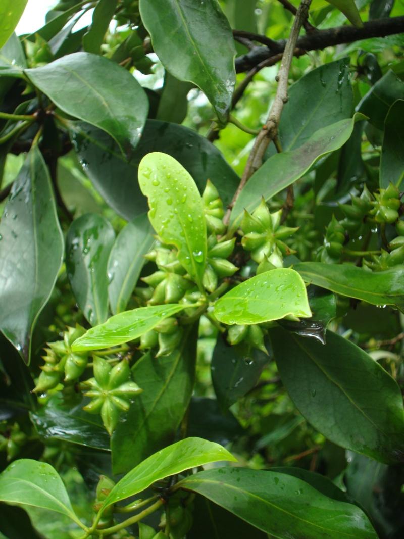 [Illiciaceae] Illicium verum, anis etoilé quelle region?!!! Dsc00811