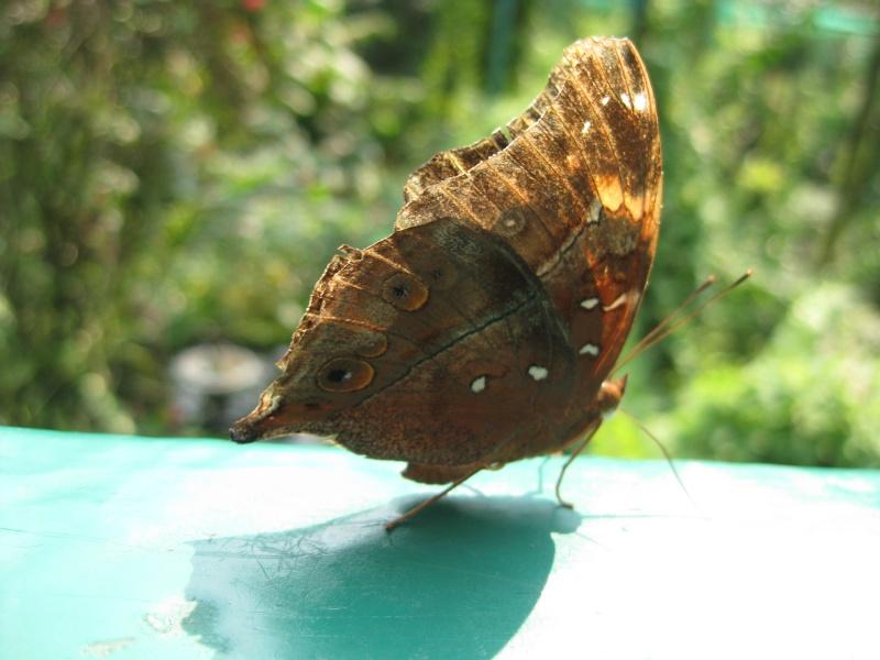 Papillons tropicaux Img_2714