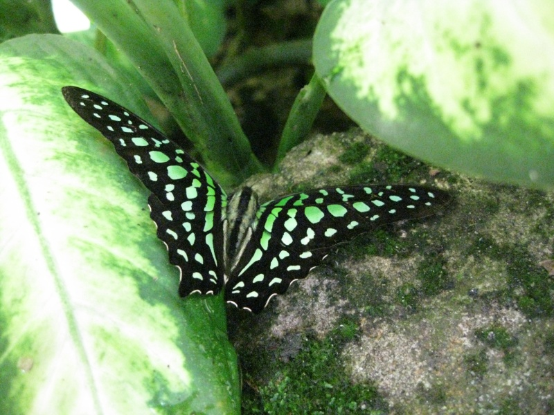Papillons tropicaux Img_2715