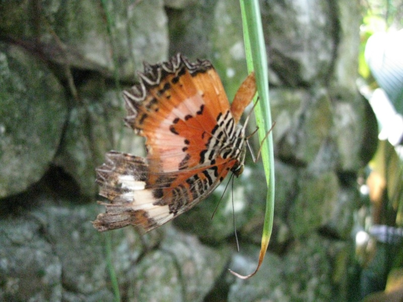 Papillons tropicaux Img_2716