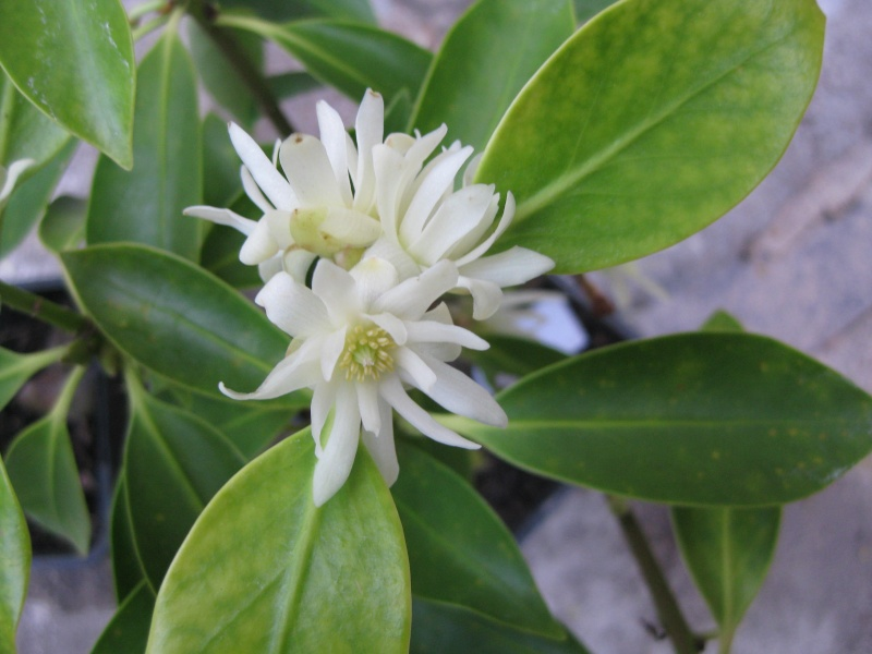 [Illiciaceae] Illicium verum, anis etoilé quelle region?!!! Img_9820