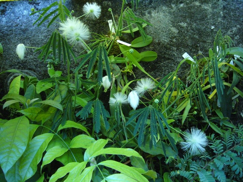 Calliandra portoricensis (Versoix) P1090625