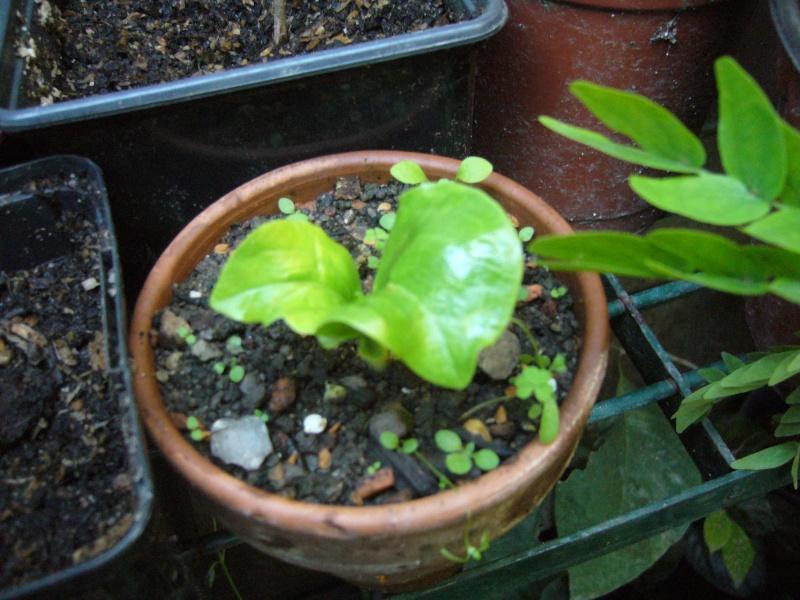 Adansonia digitata P1090627