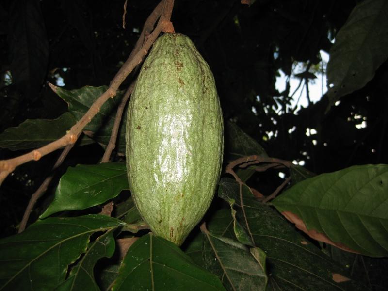 Ambanja, Theobroma cacao Photos66