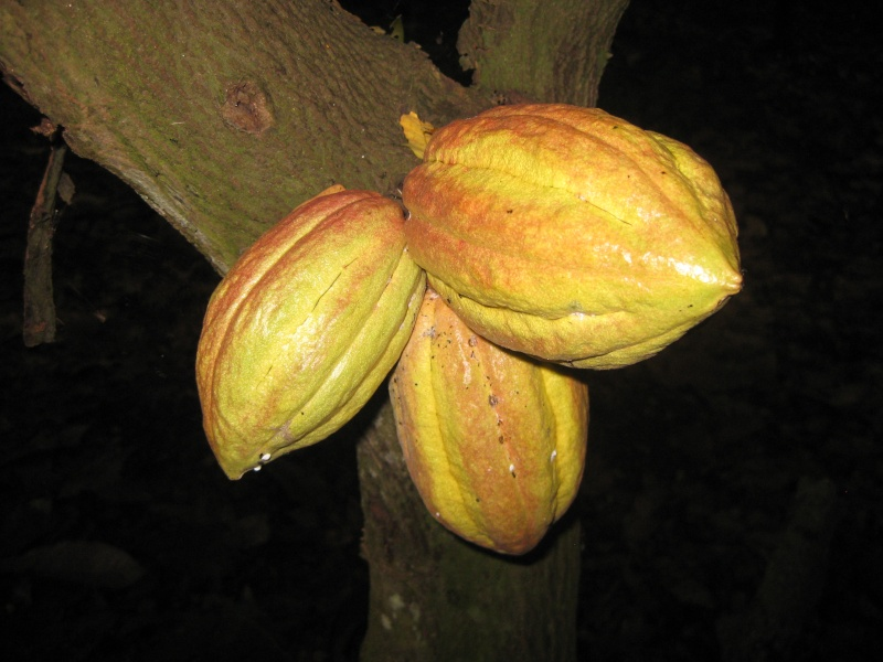 Ambanja, Theobroma cacao Photos67
