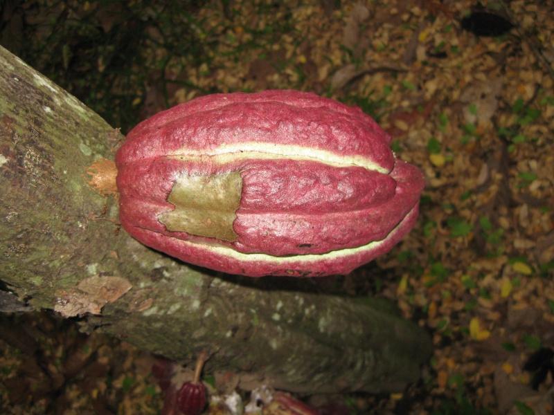 Ambanja, Theobroma cacao Photos68