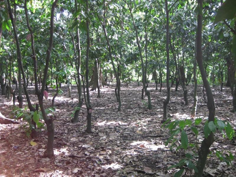 Ambanja, Theobroma cacao Photos70