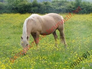 BELLA - ONC Selle palomino  née en 1996 - adoptée en juillet 2010 Bella111