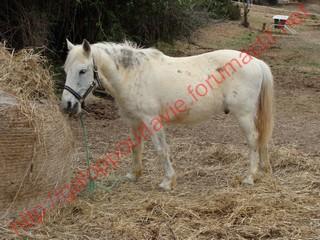 STRIKE poney ONC gris - placé hors association Coches10