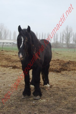 HINDY - Trait Percheron X Breton entier né en 1999 - adopté en avril 2010 Dsc02212
