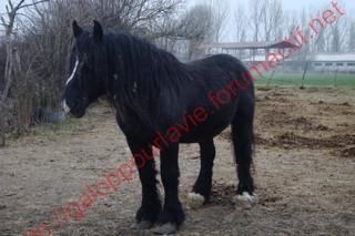 HINDY - Trait Percheron X Breton entier né en 1999 - adopté en avril 2010 Dsc02213