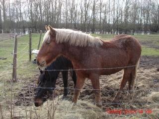 EXTENZO - demi-trait comtois né en 2007 entier - adopté en mars 2009 par Moutarde Dsc05710