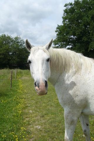 GARFIELD hongre 14 ans gris montable - placé hors association P1040510
