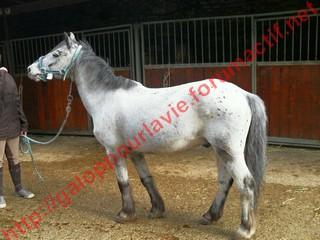 Apache poney - placé hors association Poney_11