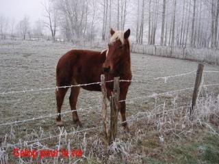 EXTENZO - demi-trait comtois né en 2007 entier - adopté en mars 2009 par Moutarde Pouney13