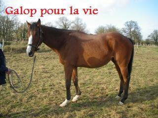 (49) Saurapour Pur-sang hongre 5ans600e  (Négocié à 500e) Sorapo10